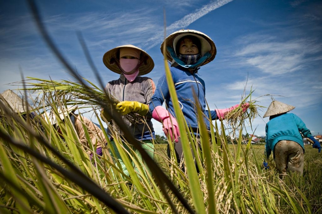 RICEFIELD IN KHANH HOA